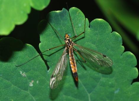 mosquiti